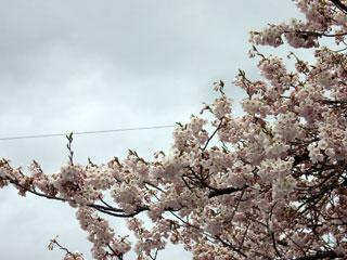 Sakura0428
