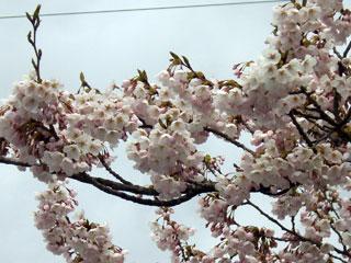 Sakura04282